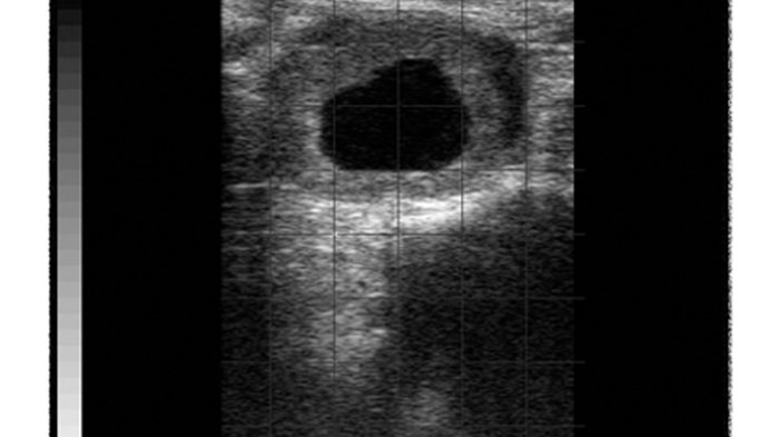 Ovary with luteal cyst bovine BCF Easi-Scan